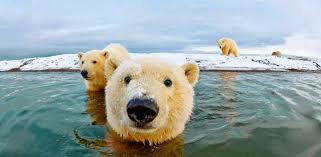 polar bear facts history information amazing pictures
