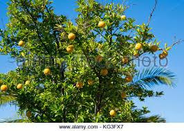 lemon trees grow in the garden of a hotel in belek turkey 11