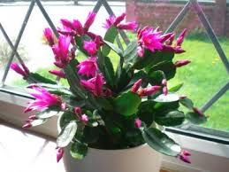 easter cactus care tips for growing an easter cactus plant