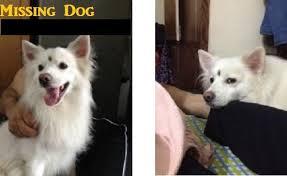 american eskimo dog in india missing dog helpline pomeranian
