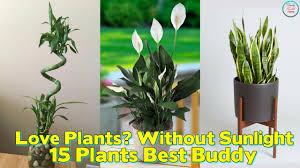 low light houseplants plants that don t require much light revisited office plants that don t need sunlight indoor no light my