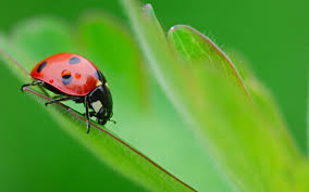 331 ladybug hd wallpapers backgrounds wallpaper abyss