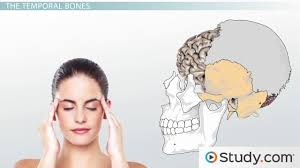Parts Of The Face Anatomy Major Bones Of The Skull Names And Location Video U0026 Lesson