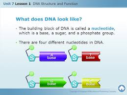 unit 7 lesson 1 dna structure and function ppt download