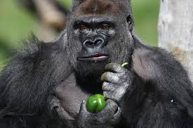london zoo escapee gorilla is zoo u0027s u0027star attraction u0027 and has a