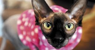 unusual pets hairless cats and a sugar glider about magazine