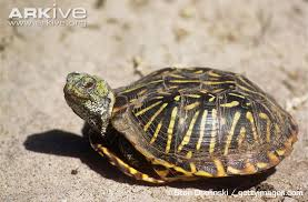 ornate box turtle photo terrapene ornata g27571 arkive