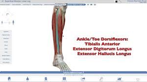 Knee Compartments Anatomy Muscles Of The Lower Leg Ii Anterior Compartment Dorsiflexors