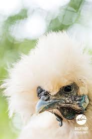 19 best keeping chickens cool images on pinterest keeping