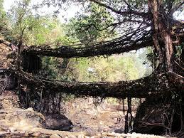 living root bridges of meghalaya random wanderings