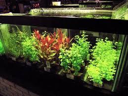 Tropical Aquatic Plants - tropical fish finder co uk the ultimate uk fish keeping resource