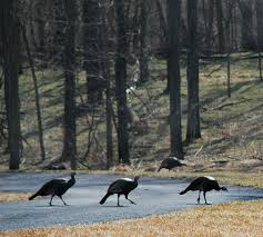 wild turkeys have made a comeback and are ruffling some suburban