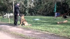 belgian sheepdog georgia caucasian shepherd dog training in ireland youtube