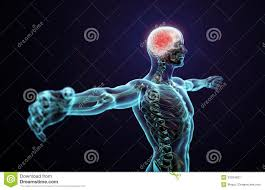 Human Anatomy Images Free Download Human Anatomy Central Nervous System Royalty Free Stock
