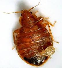 Bed Bugs New York City New York City Bed Bugs Are Losing Their Grip On The City Sterns