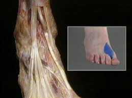 Foot Anatomy Nerves Nerves Of The Foot Acland U0027s Video Atlas Of Human Anatomy