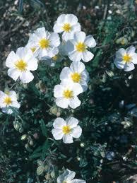 landscapers u0027 picks the 10 best shrubs for pots hgtv