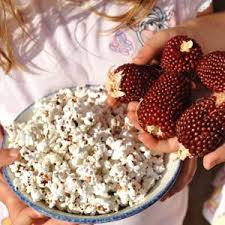strawberry popcorn corn seed farmer seeds
