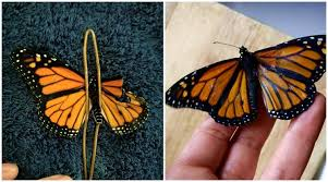 costume designer mends butterfly s broken wings to help it fly