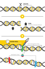 guide seq a dna duct tape to mark the dna damage dna u0026 rna
