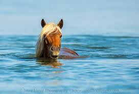 mustang horse swimming horses