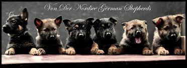 german shepherd puppy breeder ma german shepherd