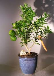 chinotto orange bonsai trees citrus myrtifolia rafunergue