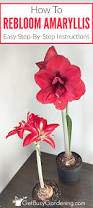 Amaryllis Flowers Rebloom Your Amaryllis Bulbs How To Make Amaryllis Bloom Again