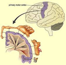 What Portion Of The Brain Controls Respiration The Brain From Top To Bottom