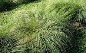 spartina cord ornamental grass for sale naples