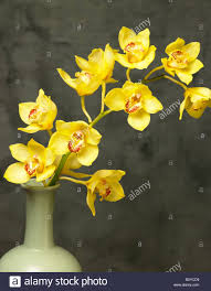 yellow orchid yellow orchid in vase stock photo 19042165 alamy
