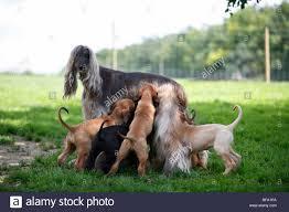 afghan hound kennel in australia afghan babies stock photos u0026 afghan babies stock images alamy