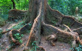 file gfp china hong kong indian rubber tree roots jpg wikimedia