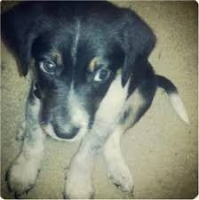 bluetick coonhound reviews charlotte49 review 14511 of their border collie