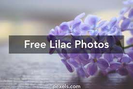 free stock photos of lilac pexels