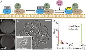evolutionary adaptation after crippling cell polarization follows
