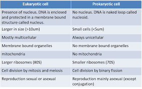 eukaryotic and prokaryotic cells eukaryotic cell vs prokaryotic cell