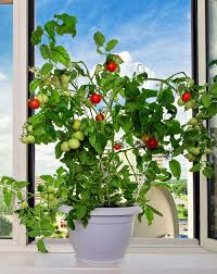 apartment gardening ideas growing fruits herbs u0026 vegetables