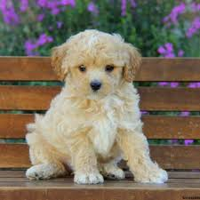 puppies for sale pa maltipoo puppies for sale in pa md ny nj