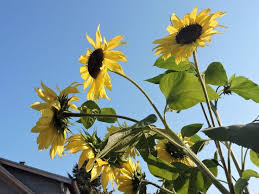 best 25 growing sunflowers from seed ideas on pinterest red