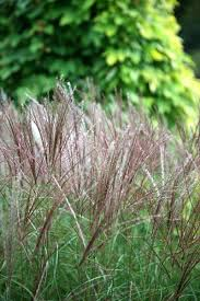 10 best grasses images on grasses fern and bamboo