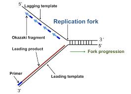 dna replication and it u0027s process in prokaryotic dna kullabs com