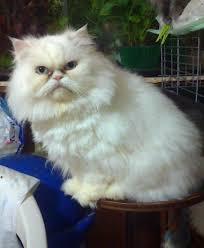 gatti persiani bianchi persiano bianco il mio amico gatto