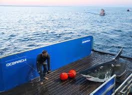 massive 3 400 pound great white shark passes mouth of chesapeake