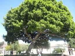 Tree San Diego Beautiful Trees Picture Of Town San Diego State
