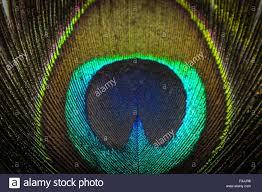 Peacock Feather Animal Detail Colour Colours Color Colors