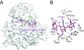 structure of protein o mannose kinase reveals a unique active site