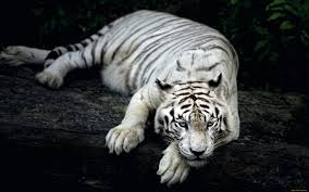 white tiger wallpapers in jpg format for free