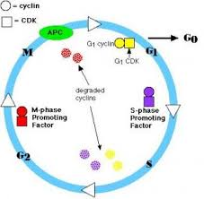 ib biology control of cell cycle u0026 cancer