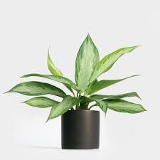 aglaonema care greenery nyc